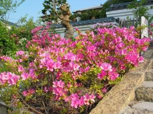 石段脇に咲くヒラドツツジ