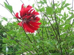 夏の花「海紅豆(かいこうず)」