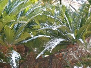 雪に耐えるソテツH26.2.5