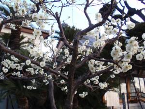 満開の安楽寺の梅